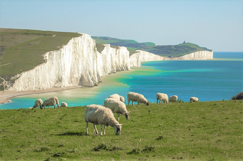 Sheep grazing near the 7 sisters chalk cliffs in East Sussex, England