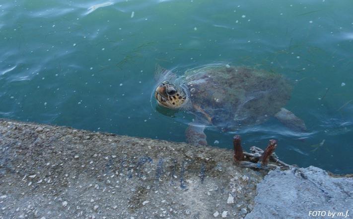 Una tartaruga a Cefalonia