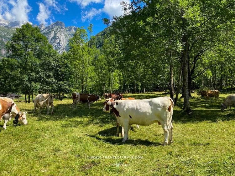 Val di Mello, mucche al pascolo