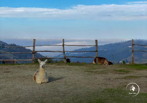 Passeggiate con gli alpaca