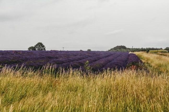 Snowshill Lavender fields