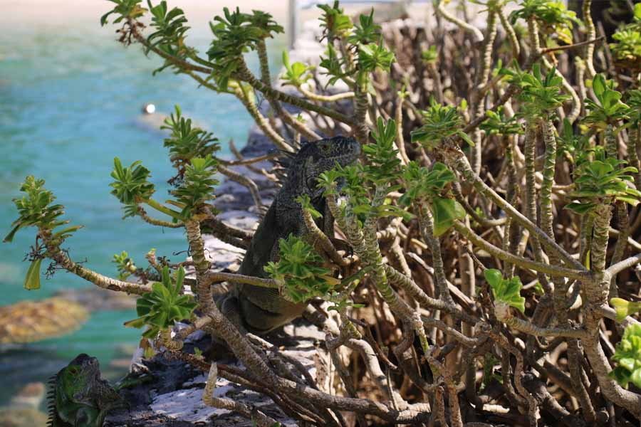 Grand Cayman wildlife Iguanas
