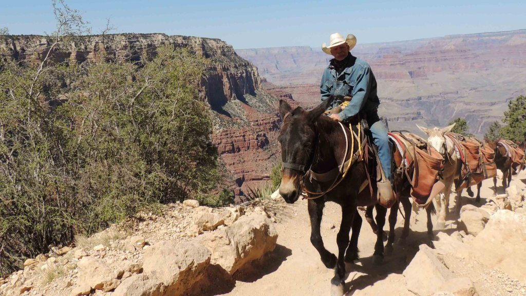 The Mules Ascending from the bottom of the Grand Canyon USA Bucket List