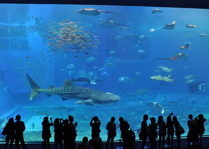 Fall Wallpaper With Animals Under The Sea Okinawa Churaumi Aquarium Traveleering