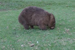 Wombat - süß, oder?