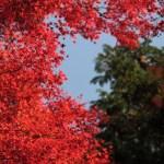 箱根の紅葉!2015年の見頃の時期は11月上旬以降。