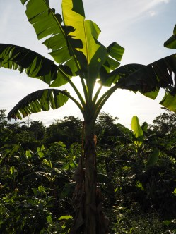 The farm - plantain tree