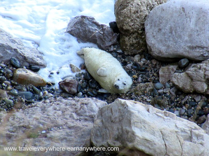 Seal watching in Llandudno Wales