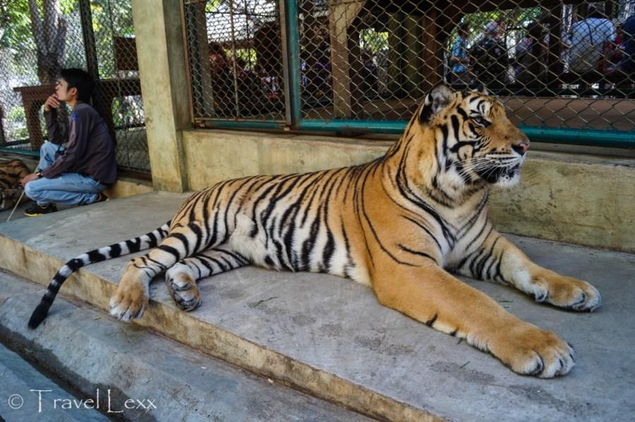 Tiger Kingdom - Travel Mistakes