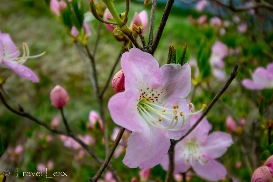 A close up of a royal azalea flower