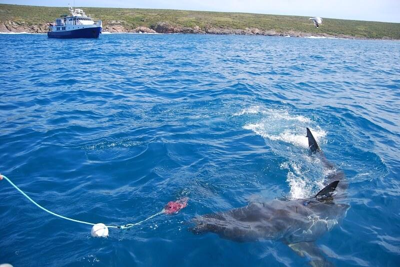 Shark cage diving australia