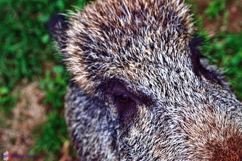 Tame boar that thinks its a dog at the Vallon-en-Sully Castle -Chateau de Peufeilhoux