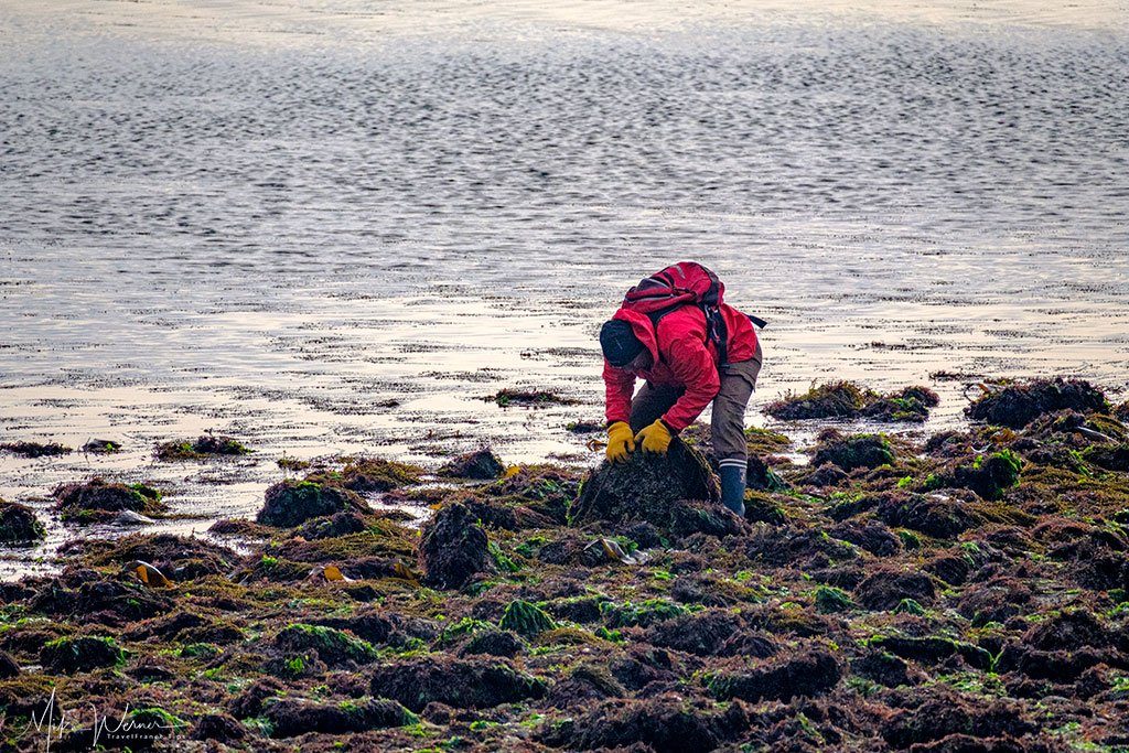 Looking for shellfish at the South of Quiberon, Brittany