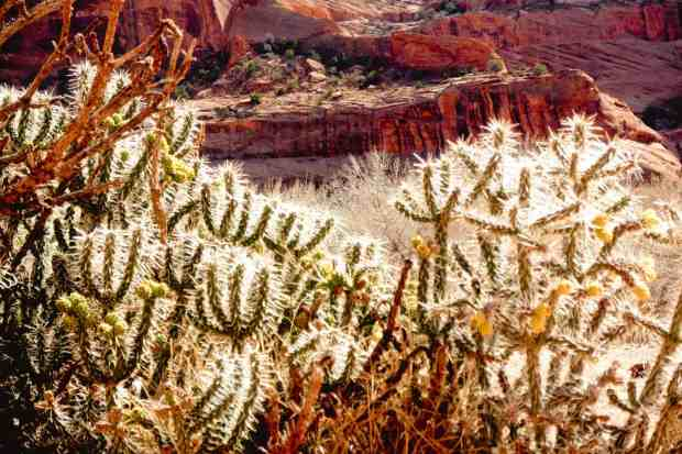 Stolid Cacti, Canyon de Chelly