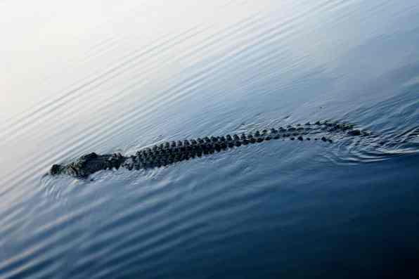 Crocodiles in the Yellow River, Kakadu National Park