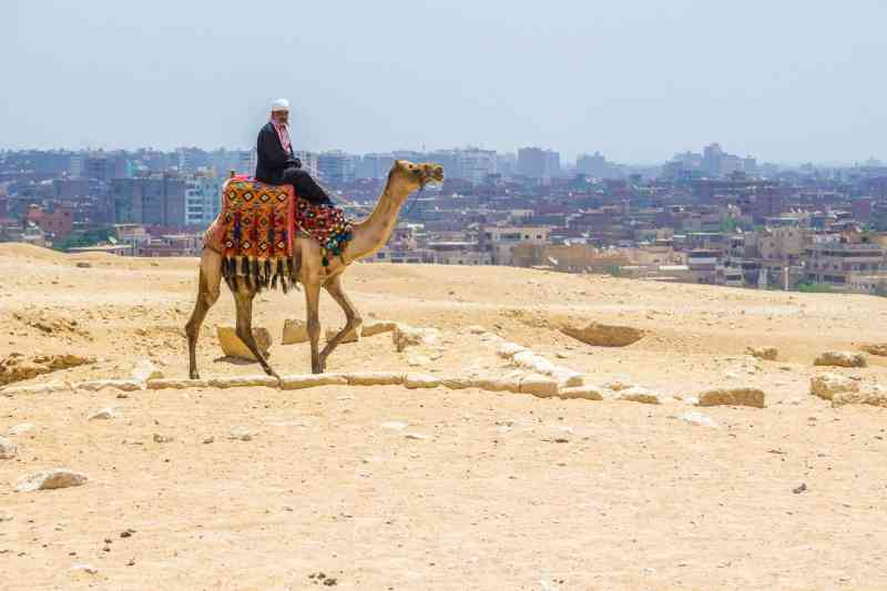 Camel on the edge of the desert at the Pyramids of Giza.