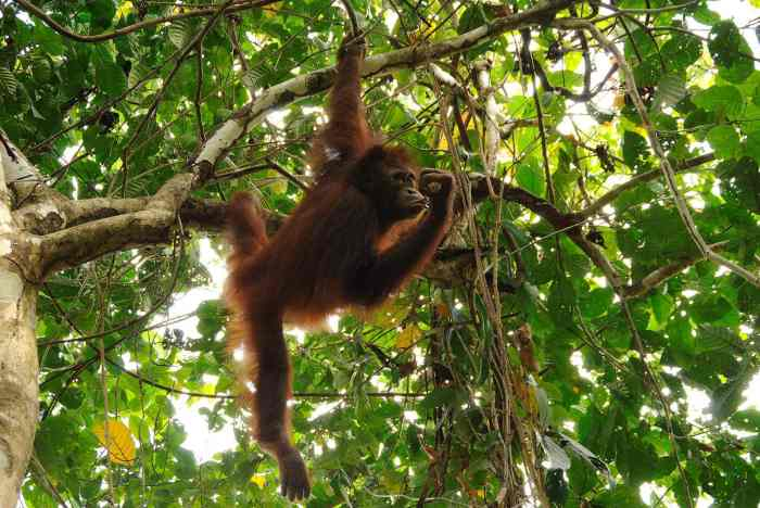 Traveling in May to Borneo to see the orangutan!