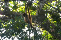 scimmie Costa Rica