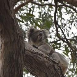 Koala a Flinder Chase
