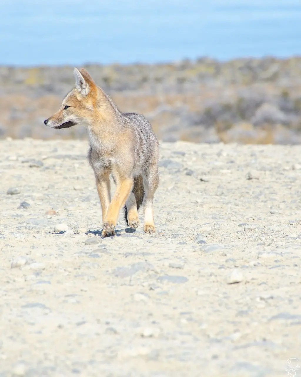 volpe patagonia