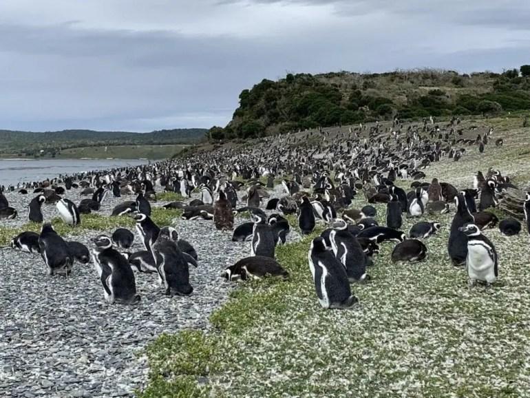 Pinguini Argentina