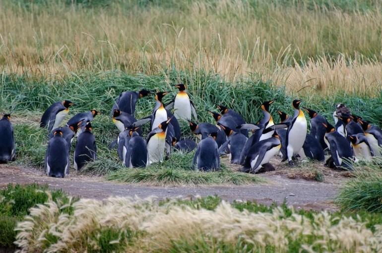 Pinguini Cile