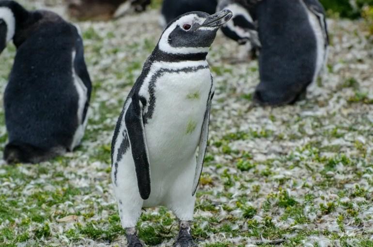 pinguini Terra del Fuoco