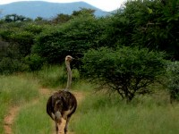 Facts About The Ostrich- Famous As The World's Fastest Bird