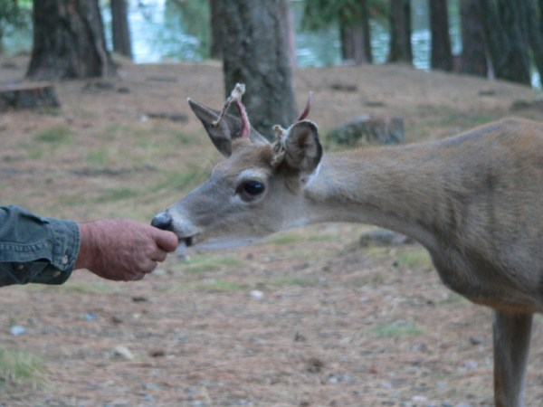 Feeding a deer in Idaho