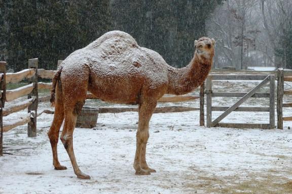 Christmas Camel - Mount Vernon