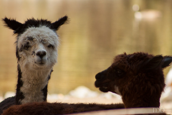 Llamas at the Salisbury Zoo
