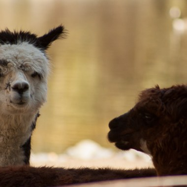 Llamas at the Salisbury Zoo