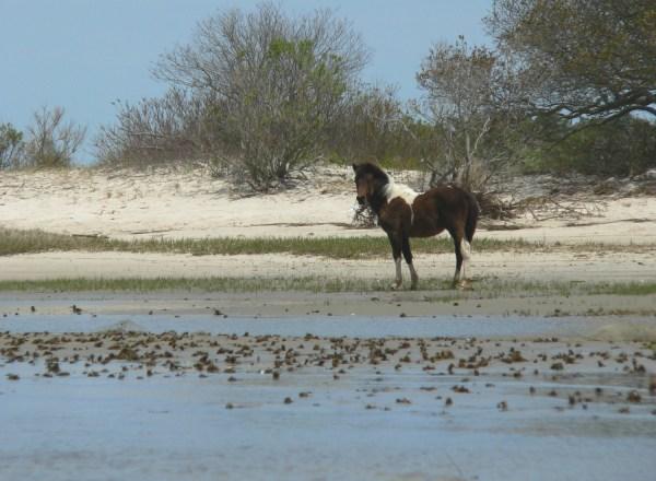 Wild Pony - Assateague National Seashore VA