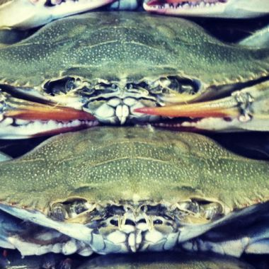 Chesapeake Blue Crab