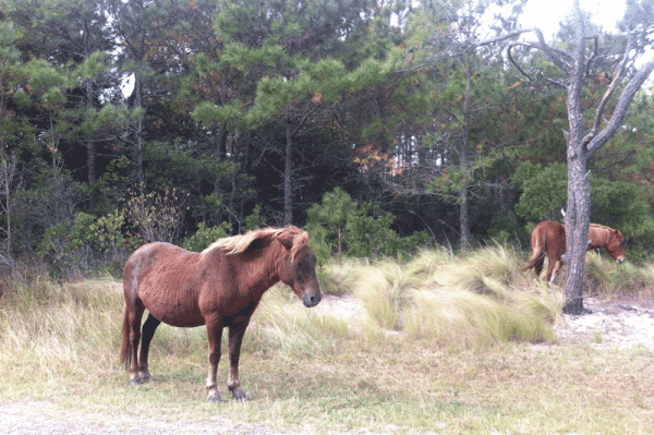 Wild Ponies at Assateague National Seashore