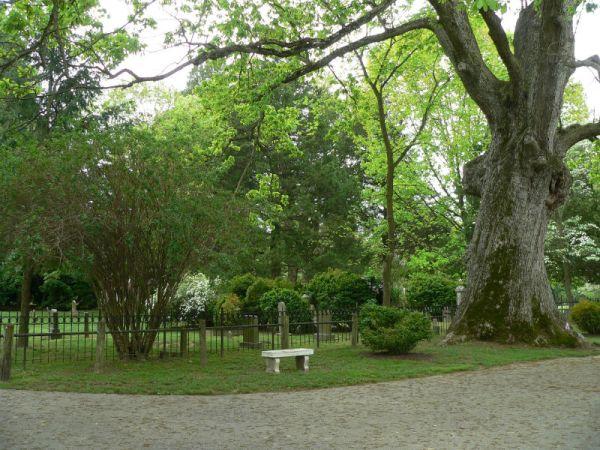 Swamp Chestnut Tree at St. Paul's Church