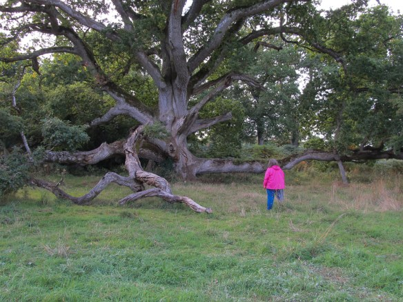 The King Oak in Charleville Forest - County Offaly, Ireland