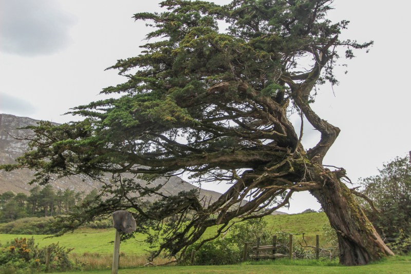 Yew Tree at Kylemore Abbey, Connemara, Ireland