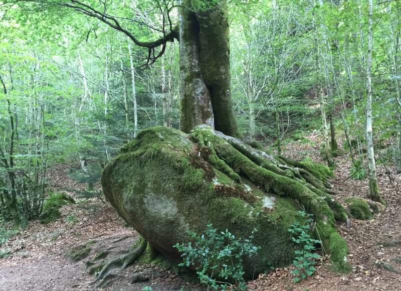 Tree roots growing up over boulder in Finistere forest, Brittany France