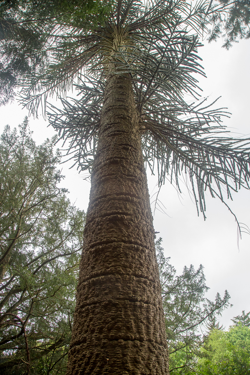 Monkey Puzzle Tree in Glenstal Abbey Forest, County Limerick, Ireland