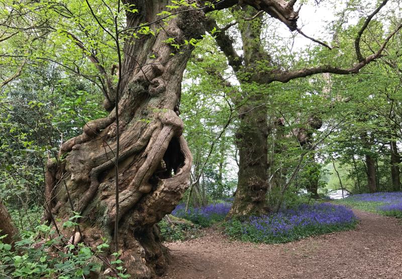 700-year-old Spanish Chestnut. Inchmahome Woodland, Scotland