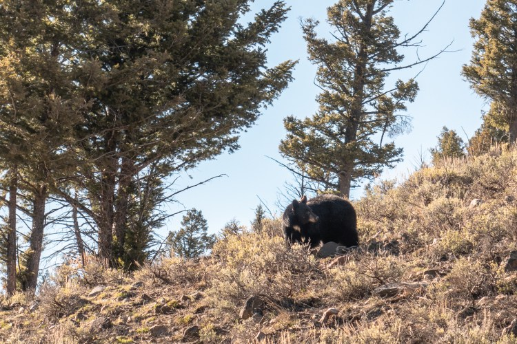 Yellowstone in April Bear Sighting