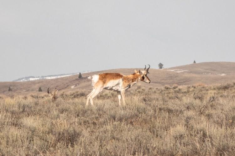Grand Teton Road Trip Pronghorn Antelope