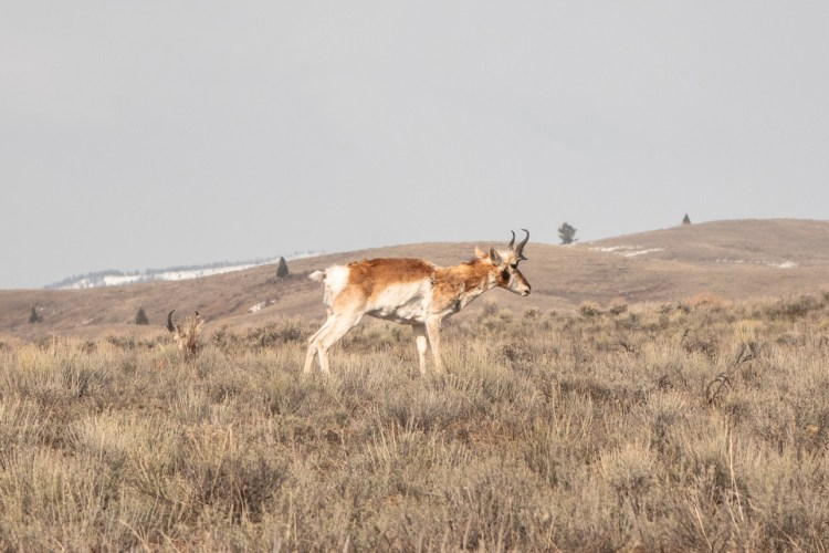 Grand Teton Road Trip Pronghorn Antelope