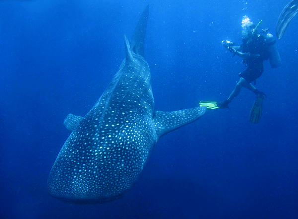 Man scuba diving with whale shark