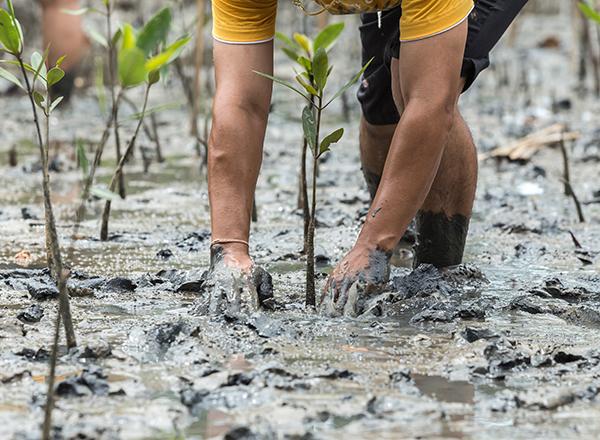 נטיעת עצי מנגרוב