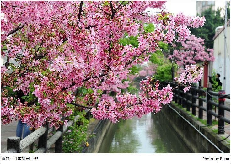 新竹東南街櫻花巷。汀甫圳富士櫻唯美盛開中 - 輕旅行