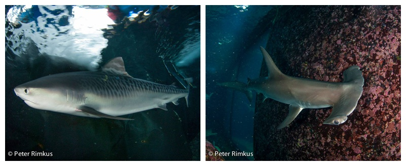 maui scuba diving sharks