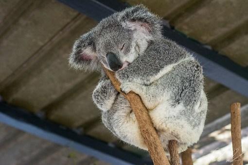 Visiting Lone Pine Koala Sanctuary