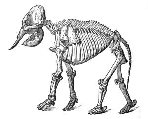 Asiatic Elephant Skeleton